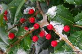 Holly in snow 1.JPG