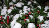 Holly in Snow 2.JPG